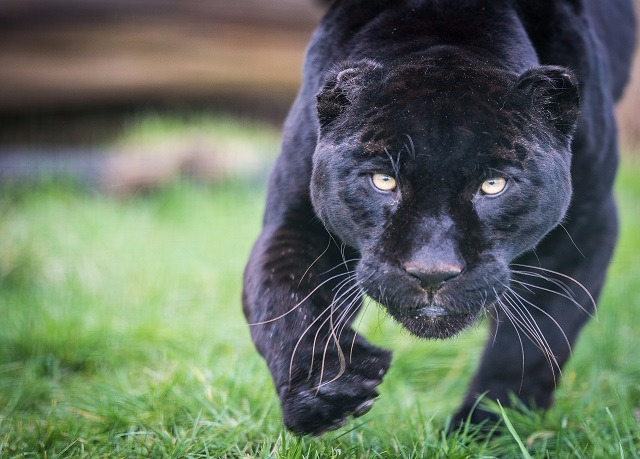 Whf The Big Cat Sanctuary Save Up To  On Luxury Travel Secret Escapes