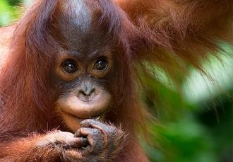 Malaysia heritage tour with orangutan sanctuary visit, Kuala Lumpur, Cameron Highlands, Penang & Borneo - save 18%
