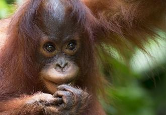 5* Borneo & Dubai escape with orangutan experience, Malaysia & UAE - save 28%